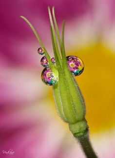 Morning Dew-.-