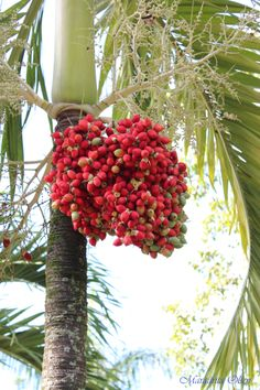 Palm tree Florida Plants, All About Plants, Flowering Trees, Outdoor Plants, Grasses, Country Living, Palm Trees, Caribbean, Tropical