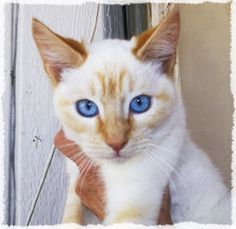 Ember is an adoptable Siamese Cat in Hollywood, CA. Ember and the Flamepoints! A rocking band of 5 brothers and sisters who are all purebred flamepoint siamese like Ember. They're five months old at p...
