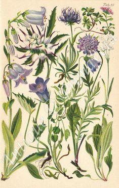 Alpine Flowers, Exotic Flowers, Botanical Illustration, Botanical Prints, Botanical Drawings, Family Flowers, Vintage Flowers, Vintage Floral, Vintage Art