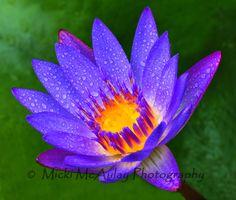 Purple Lotus, tropical rainforest Maui, Hawaii