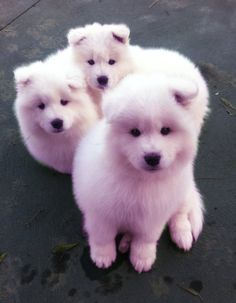 Your Samoyed Saturday Samoyed Photos. Who doesnt love cute dogs and Samoyed are some of the cutest. They are like big lovable Teddy Bears but So white. Animals And Pets, Baby Animals, Funny Animals, Cute Animals, Cute Puppies, Cute Dogs, Dogs And Puppies, Samoyed Puppies, Doggies