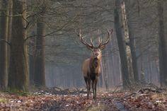 Red deer in winter time