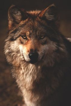 Spooky Wolf ~ Photo by Scott Denny Wolf Photos, Wolf Pictures, Wolf Wallpaper, Animal Wallpaper, Beautiful Wolves, Animals Beautiful, Beautiful Creatures, Tier Wolf, Wolf Eyes