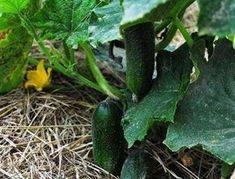 Чем подкормить огурцы для хорошего роста | На грядке (Огород.ru)