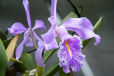 Cattleya maxima- 26 Jan 2014 | This is a tipo flower flower … | Flickr