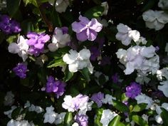 Brunfelsia Shrubs: How To Grow A Yesterday Today Tomorrow Plant