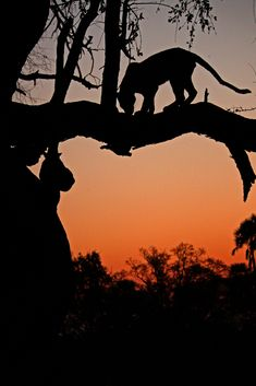 Leopard silhouette, Okovango Delta, Botswana   http://underonebotswanasky.com/camps/moremi-crossing.php