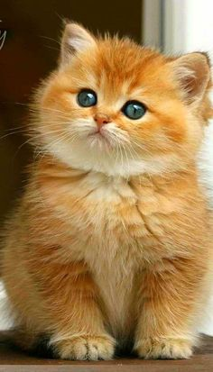 Cute Baby Cats, Cute Kittens, Cute Cats And Kittens, Cute Baby Animals, Cool Cats, Funny Animals, Ragdoll Kittens For Sale, Funniest Animals, Pretty Cats