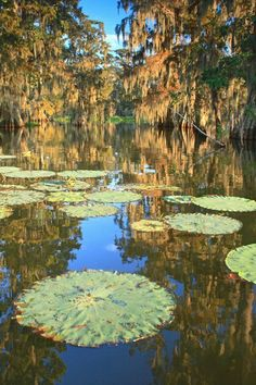 Big Lilly Pads in the swamps of Louisiana .