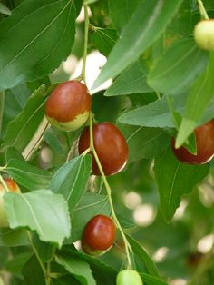 Jujube fruit (giuggiola)