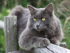 Nebelung-Katze