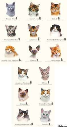 CAT Breeds on Pinterest | Cat Breeds, Ragdoll Cats and Maine Coon #catmeow - Catsincare.com!