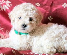 Get A New Puppy Today! View our ADORABLE Newborn Puppies Mini Puppies, Poodle Puppies For Sale, Puppy Finder, Newborn Puppies, Mini Poodles, Buy A Dog, New Puppy, Dogs, Pet Dogs