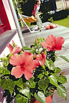 Der Hibiskus bringt als Newbiscus echtes Südseeflair im Großformat auf den Balkon und in den Garten.Tellergroß, farbenprächtig und exotisch schön blüht er.