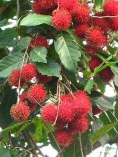 Red Rambutan tree