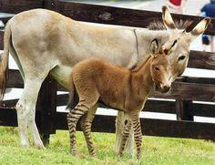 Zedonk - zebra/donkey hybrid