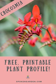 Learn Crocosmia care tips, maintenance, companion plants, and more in this free reference guide! Subscribe to collect your free PDF, as well as access to the rest of our free resource library! #crocosmia #crocosmialucifer #crocosmiacare #cottagegarden #spokengarden