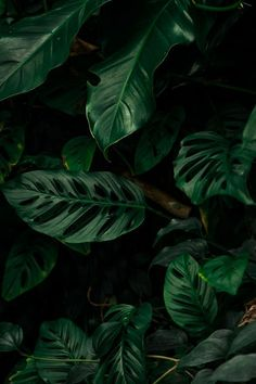 Monstera Deliciosa from a cute lil greenhouse in Cardiff Flowers Black Background, Plant Background, Tropical Background, Black Flowers, Plant Wallpaper, Flower Wallpaper, Black Backgrounds, Wallpaper Backgrounds, Black Background Photography