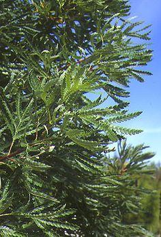 Catalina ironwood, Lyonothamnus floribundus var. aspenifolius -- would this one get too tall? Nice evergreen foliage