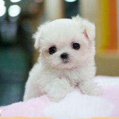 Baby Maltese!