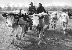 Szarvasmarha, igázása (Hajdúnánás, Hajdú-Bihar m. Old Photography, Appalachian Mountains, Old Pictures, Historical Photos, Hungary, Romania, Farming, Animals And Pets, Images