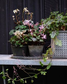 Flowering Saxifraga and coral bells, potted by @mettekrull. Our UK contributor Kendra Wilson discovered Denmark-based photographer Mette Krull on Instagram; see more of her garden at Garden Visit: Mette Krull's Danish Greenhouse.