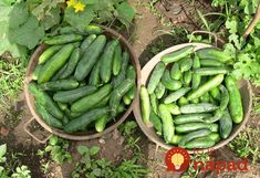 Pickles, Cucumber, Gardening, Vegetables, Lawn And Garden, Vegetable Recipes, Pickle, Zucchini, Veggies