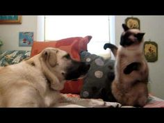 Cat boxing dog. Who wins?    Thank-you to Kyle Block.   Cats are not afraid of Dogs! :)