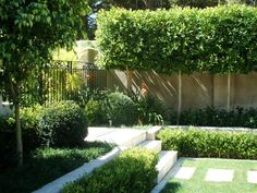 Concrete walls and steps, pleached limes.