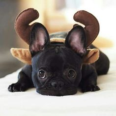 This all black French Bulldog is basically Toothless from how to train your dragon!  www.bullymake.com