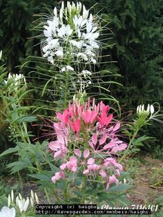 Spider Flower, Cleome hassleriana-Annual, Blooms June to frost, Full sun to part shade, Dense elongated terminal racemes of pink, purple, or white spider-like flowers with protruding stamens.  Reseeds vigorously, sometimes becoming a nuisance.  May want to prevent pods from emptying by clipping.  Flowers are followed by thin seed pods that ripen to brown before splitting open and dispersing the tiny little seeds within.