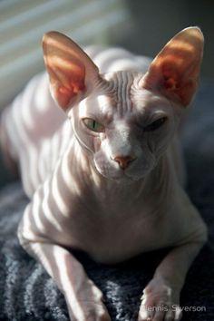 16 γάτες Sphynx
