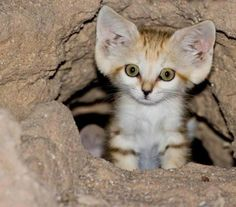sand cats are so cool looking