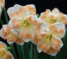 Narcissus Cum Laude - White Flower Farm