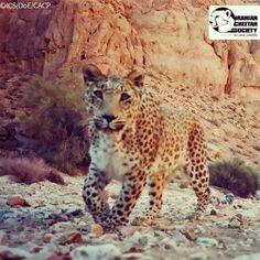 "A Persian Leopard:  ""Face-to-Face With A Camera Trap."" Tandoreh National Park,  Dargaz, North Khorasan Province, #IRAN.  (Persian: پلنگ ایرانی رو در رو با دوربین تله ای - پارک ملی تندوره - درگز, خراسان شمالی) Credit: Iranian Cheetah Society.)"