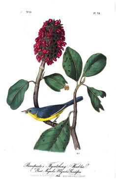 Bonaparte's flycatching warbler. John Audubon, in The birds of America, Vol. 2. #ornithology #birds