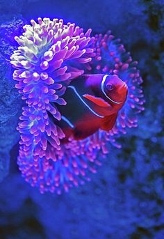 ClownfishCairns Aquarium, Cairns City, Australia A clownfish pokes its head out of a sea anemone at the Cairns Aquarium. Photo by David Clode on Unsplash Underwater Creatures, Ocean Creatures, Underwater Animals, Underwater Images, Underwater Sea, Colorful Fish, Tropical Fish, Beautiful Sea Creatures, Life Under The Sea