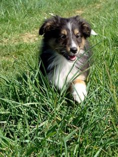 Looks like my Molly girl as a puppy!  Tri-Color Collie