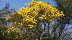 Florecen en mi tierra guaraní  Adornan a las ventanas del alma Asunción, Paraguay  Corazón de América del Sur