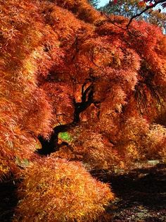 The Millionairess Of Pennsylvania: Fall Foliage, Japanese Maple - Hershey Gardens, Pennsylvania Japanese Maple, Tree Leaves, Autumn Leaves, Autumn Trees, Fall Halloween, Beautiful World, Mother Nature, Bunt, Beautiful Pictures