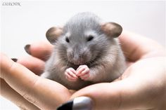 Крысота ))) Hamsters, Rodents, Animals And Pets, Baby Animals, Funny Animals, Cute Animals, Les Rats, Dumbo Rat, Rat Toys