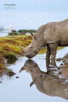 """Where Silent Gods Stand Still"" A rhino having a drink at Lake Nakuru, Kenya by @pennyrobartes Photography during a Wild Eye PhotoSafari.."