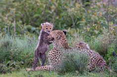 While photographic the cheetah family around Lake Ndutu in Tanzania I have noticed this repeating moment of 'hugging' face of the mama cheetah by the young cubs.  The compassion and love was in the air.