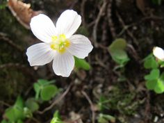Oxalis acetosella in April.