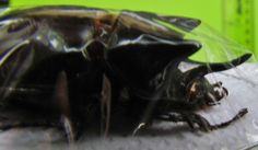 "Rhinoceros Beetle Strategus longichomper Pair 45-50mm1 3/4-2"" FAST SHIP FROM USA"