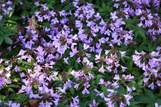 Cardamine pentaphylla, the lilac pink flowers of the showy toothwort appear fleetingly in spring before dying away. Spreads to create a carpet of flowers in a woodland setting.