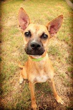 Zuni - URGENT - City of Corsicana Animal Shelter, Corsicana, Texas - ADOPT OR FOSTER - 11 MONTH OLD Female Boxer Mix - Zuni is such a lovable and happy dog. Her ears are hard to miss and even harder not to love! She exudes positivity and will be a wonderful canine companion to her new family. She was found as a stray at local business. She is learning to walk on a leash, good with other dogs, and smart!