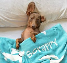 Oh Scrappy, those eyes always met me! Who wouldn't want to snuggle in bed with you and your comfy blankie from The Smoothe Store. Model credit: @ScrappyTheDoxie