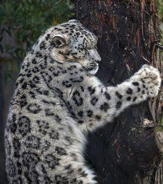 Snow leopard tree hugger by Anita Ross